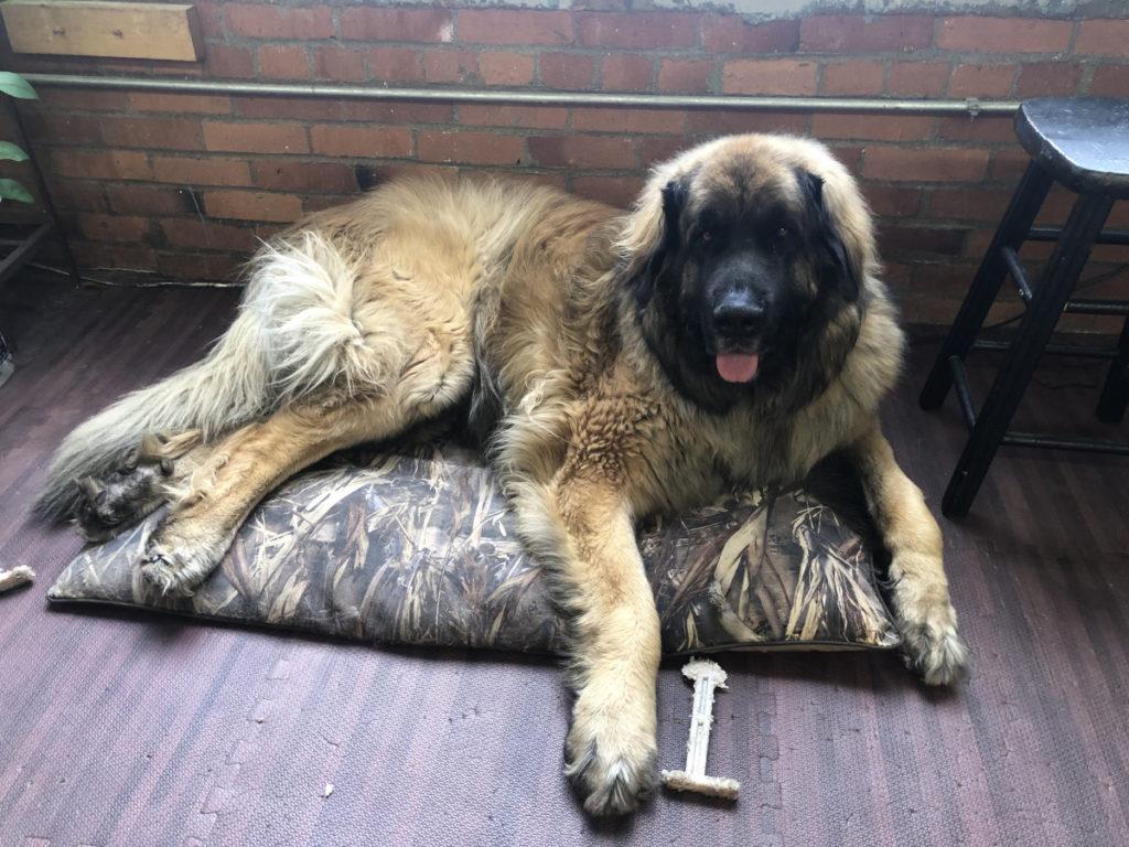 Large dog on small dog bed