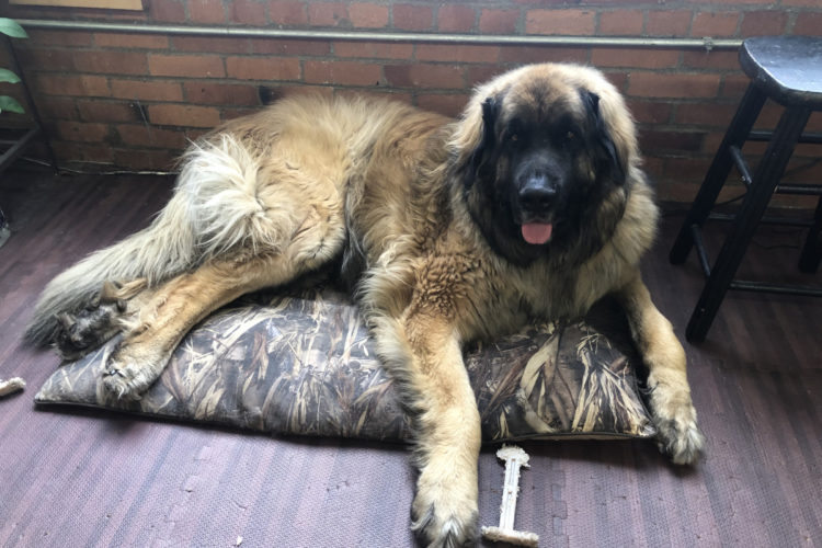 Large dog on small dog bed